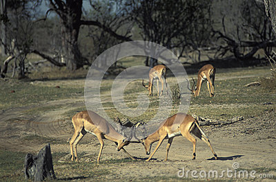 Males of impala gazelles fighting, Botswana.
