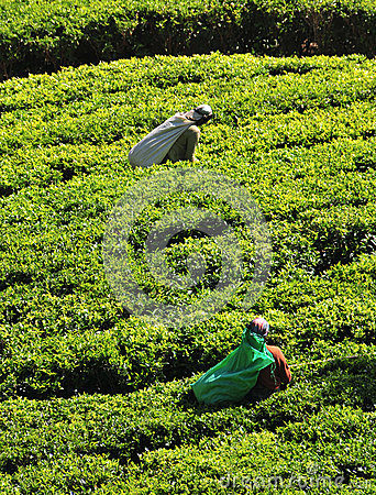 Woman working in tea plantation