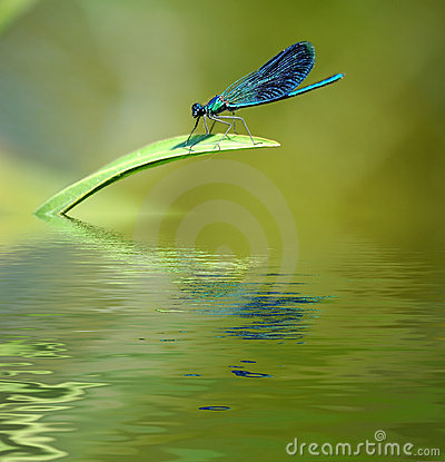 Dragonfly on stalk of grass.