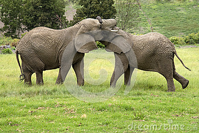 Two African elephants fighting South Africa