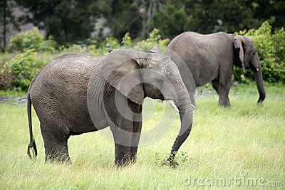 Two African elephants grazing in South Africa