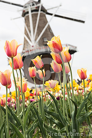 Field of Tulips and Windmill Holland Michigan