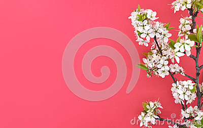 Blooming branch of cherry, spring flowers on red background