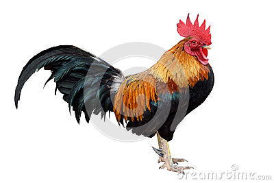 Chicken bantam ,Rooster isolated on white (Die cutting)