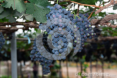 Grapevines with Bunches of Grapes