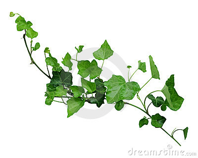 Ivy on the vine