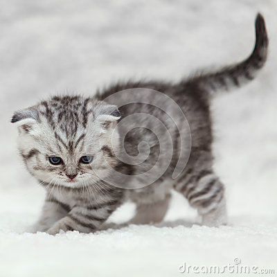 Small scottish fold kitty posing on white background