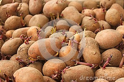 Heap of sprouting potato tubers