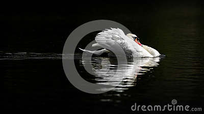 Male Mute Swan in Threat Posture on Dark Water