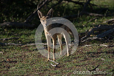 Black backed Jackal at Sunset