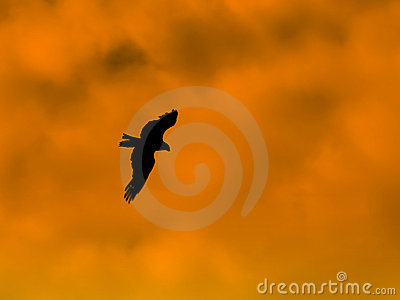 Hawk silhouette on sunset