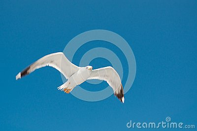 White Seagull with spread wings flying against a blue sky