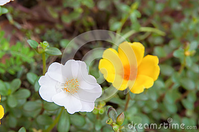 Sun Rose flower white and yellow color