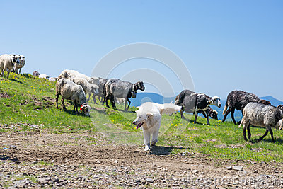 The dog protects sheep that graze on the slopes of Ukrainian Car