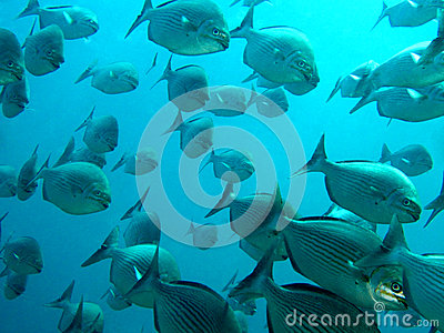 Large School of Fish Swimming Together in Ocean