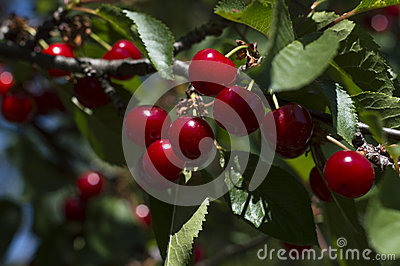 Cherry red on a branch