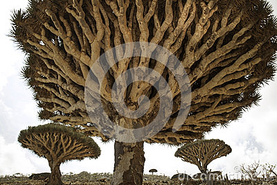 Dragon Blood Tree forrest, Dracaena cinnabari, Socotra dragon tree, Threatened species