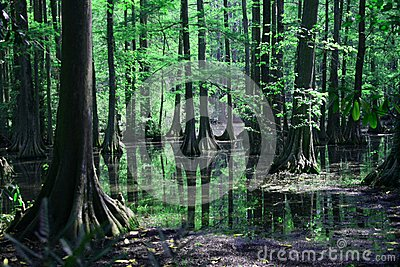 Cypress swamp reflection