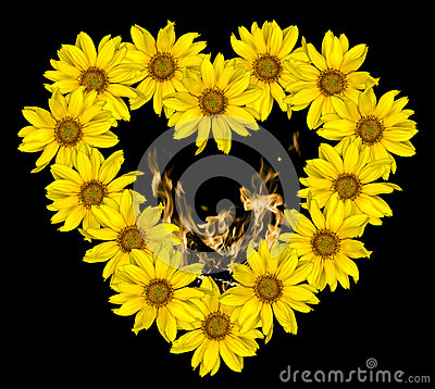 Heart of yellow flowers of decorative sunflowers Helinthus and fire flames inside isolated