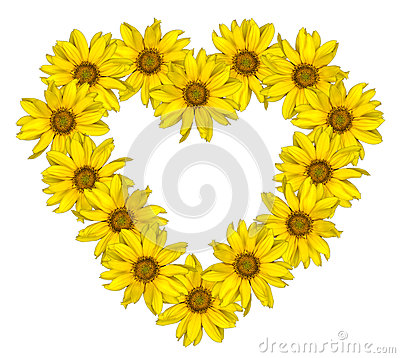Heart of yellow flowers of decorative sunflowers Helinthus isolated