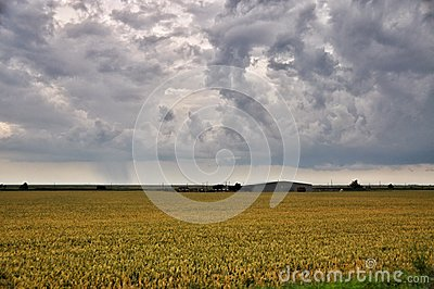 Golden wheat in a farm field