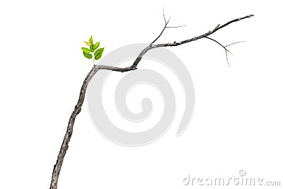 Single green leaf on dry branch isolated on white