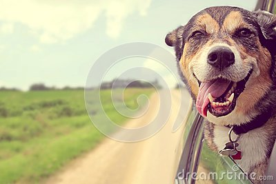 Happy Dog Sticking Head out Car Window