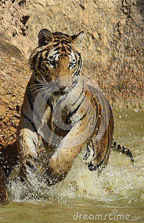Playful Juvenile Splashing Bengal Tiger