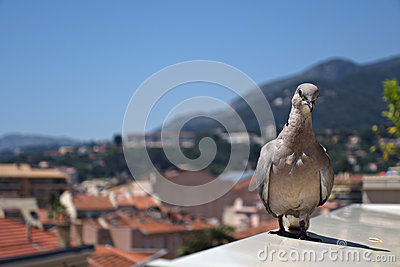 Stearing pigeon