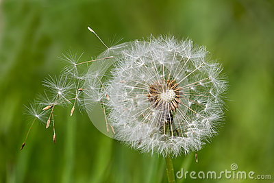 Dandelion clock dispersing seeds