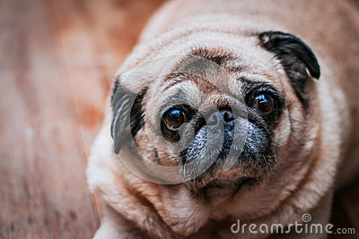 Dog Pug Looking Into Camera