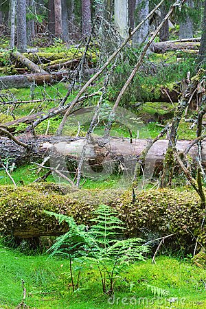 Fern and fallen trees in an old-growth forest