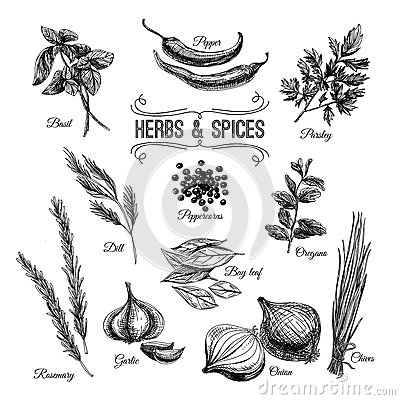 Vector hand drawn set with culinary herbs and