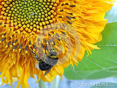 Bumblebee on a sunflower 2
