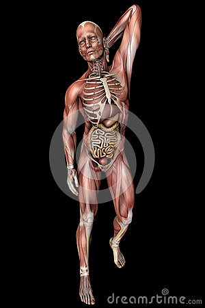 Male body with skeletal muscles and organs