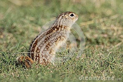 Thirteen lined ground squirrel in prairie