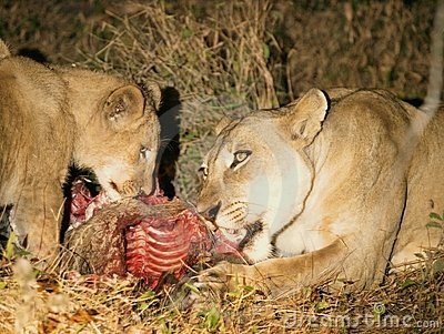 Lion with cub and kill