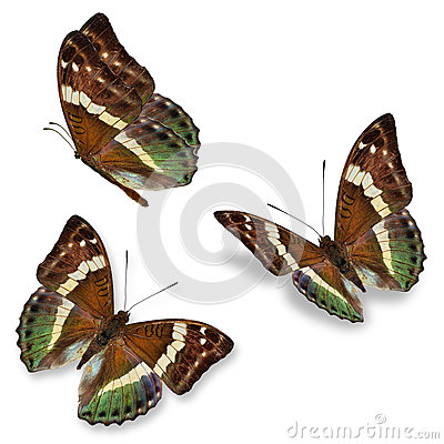 Three brown butterfly