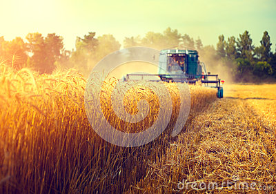 Combine harvester harvesting wheat field