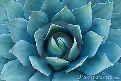 stock image of agave plant