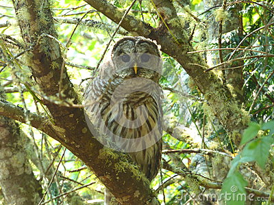 A watchful  Northwest Barred Owl hunting