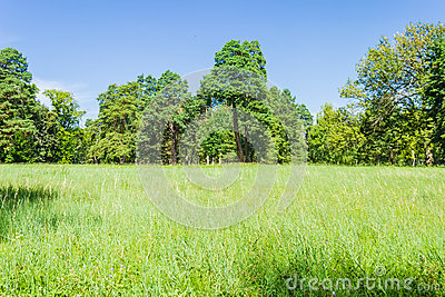 Glade in the park on background of the conifers trees