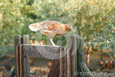 Chicken on the fence in farm