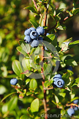 Large light blue berries blueberry garden, growing a bunch and hidden green foliage on the branches of a bush.