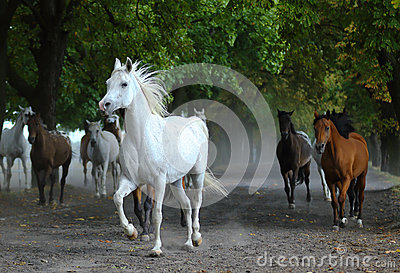 Herd of arabian horses on the village road