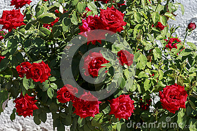 Rosebush with red roses