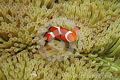 Nemo in sea anemones