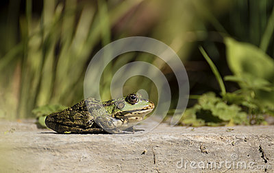 Green bullfrog at the edge of the pond