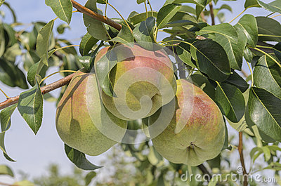 Pears ripen on the tree