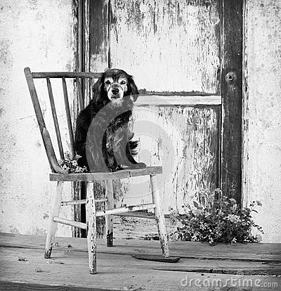 Small elderly senior cocker spaniel mix dog sits on old antique chair  by barn door